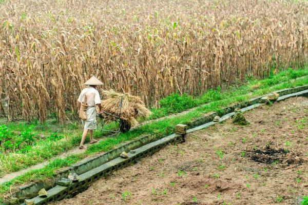 a farmer working near baisha town of yangshuo