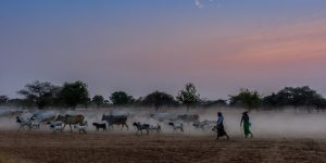 locals-and-their-herds-walking-at-dusk-in-bagan