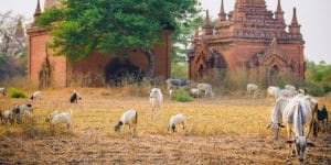 cows-near-an-old-temple-in-bagan