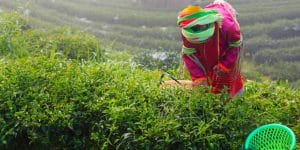 a-palaung-woman-working-on-tea-plantation