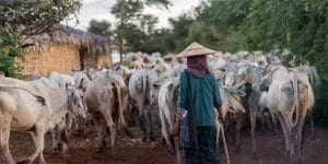 a-local-villager-with-his-cattle