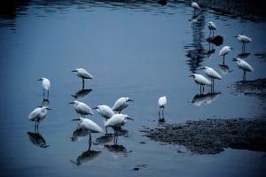 birds-on-tonle-sap-lake