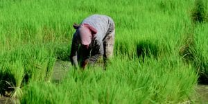 a-khmer-woman-working-on-the-field