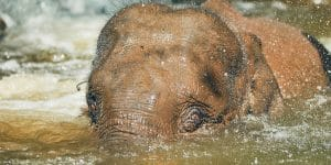 young-asian-elephant-in-chiang-mai