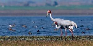 sarus-cranes-in-botum-sakor-national-park