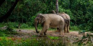 wild-asian-elephants-in-cambodia